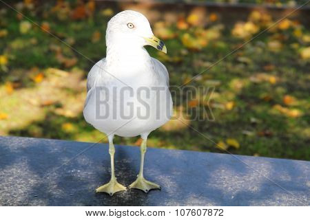 White seagull perches on black ground. Blurred background of lawn. Sunshine on head of seagull