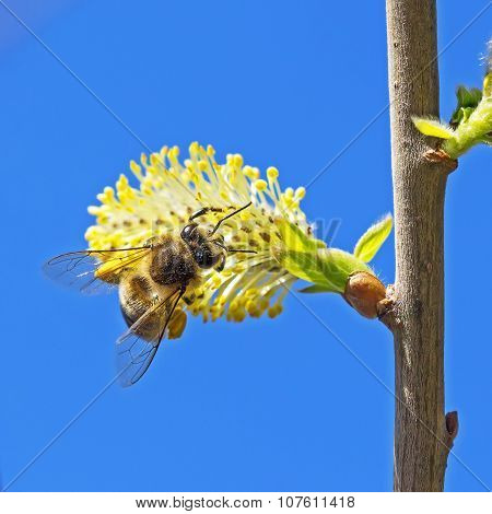 Goat willow (Salix caprea L.) with bee
