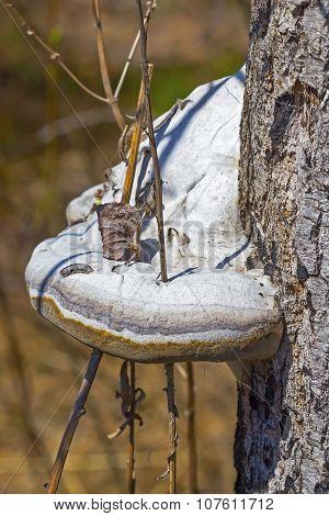 Mushroom on a tree trunk