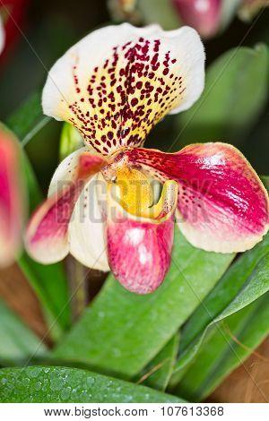Paphiopedilum Hybrid Orchid Flower