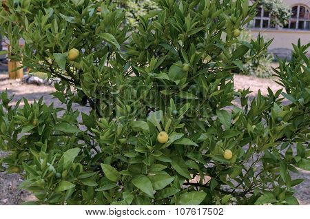 Lemon-tree and fruits in the churchyard, Batkun Monastery