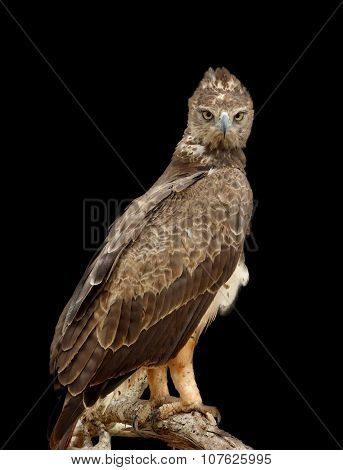 Tawny Eagle On Dark Background