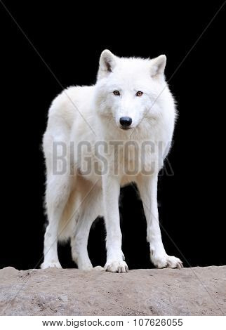 White Wolf On Dark Background