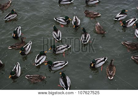 Ducks Swimming In Winter Pond