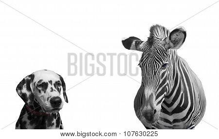 Zebra And Dalmatian Dog