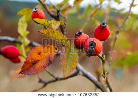 The Photograph Of Rose Hips On A Dog Rose