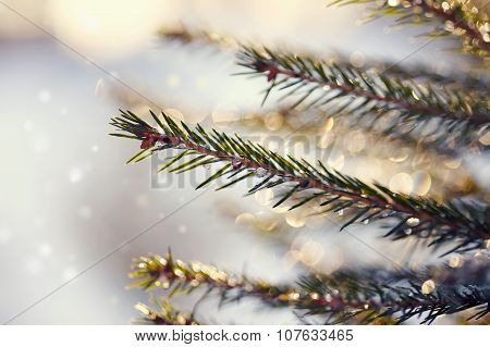 Sparkling Ice Drops On Fir-tree Branches.