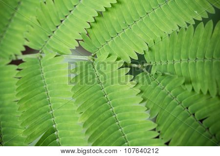 Close Up To Tamarine Leaves