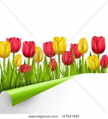 Green Grass Lawn With Tulips And Wrapped Paper Sheet