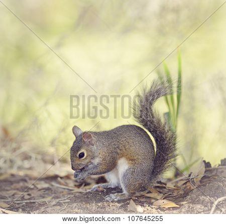 Grey Squirrel Feeding in Florida Wetlands