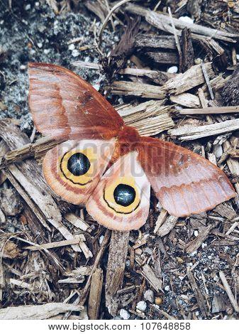 Eyed Moth