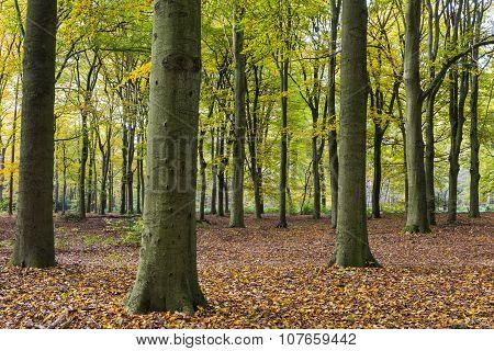 Beech Forest Autum Kaapse Bossen
