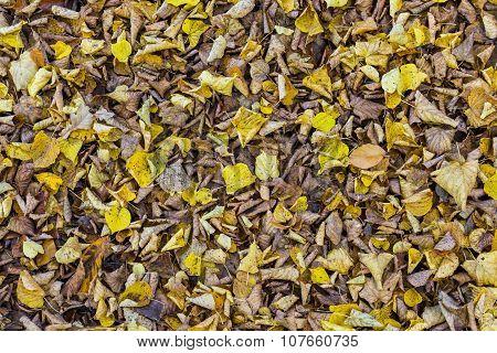 Fallen Linden Leaves