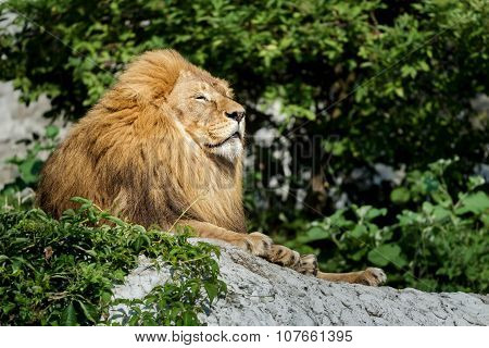 Noble Adult Male Lion Resting On Stone Rock At Green Bushes Background