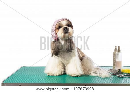 Little Shih-tzu Dog At The Groomer's Table In Kerchief