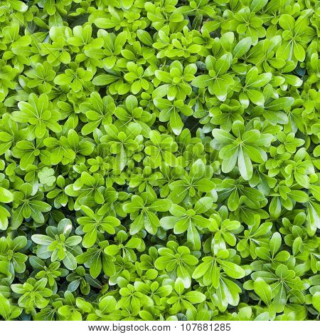 Natural fresh green leaf seamless texture for background