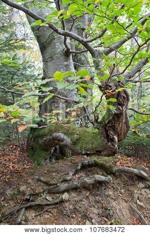 Gnarled Beech Tree