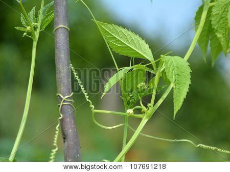 Cyclanthera Pedata Plant