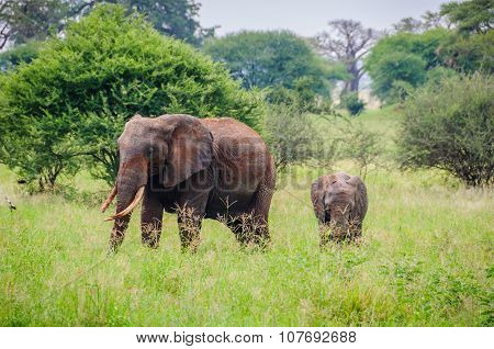 Elephant mother with her calf In Tarangire Park, Tanzania