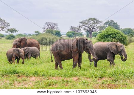 Elephant Family Of Five In Tarangire Park, Tanzania