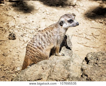 Meerkat (suricata Suricatta), Close Up Portrait, Animal Theme