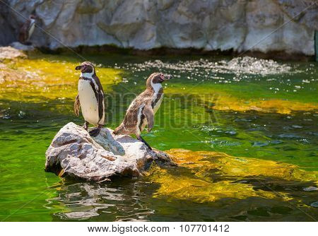 Two Little Penguins On A Rock
