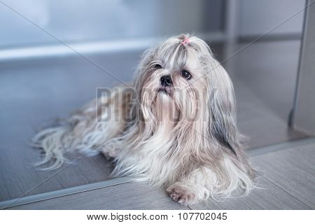 Shih tzu dog lying in home interior