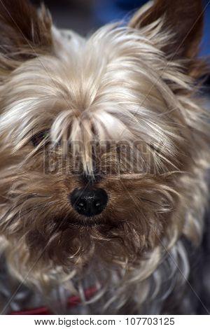 Mini Yorkie Dog Portrait