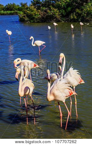 Flock of adorable pink flamingos. Exotic birds standing in a shallow lake. Sunset in the Camargue national park. Rhone Delta, Provence, France