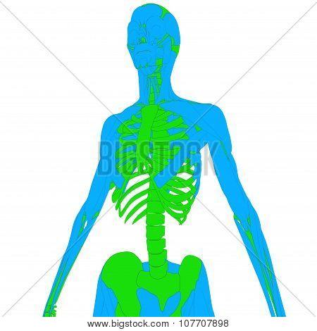 Human Muscle Body