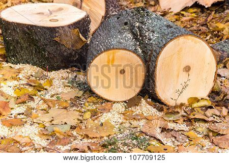 Felled trees and logs in the autumn park on a background of yellow leaves