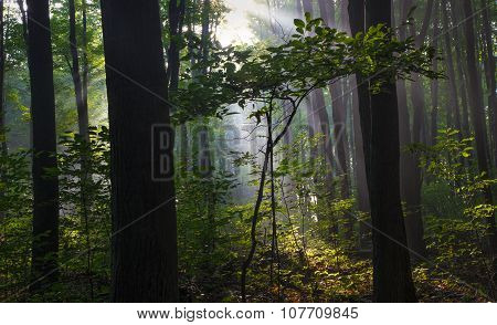 Northern Forest Sunrise