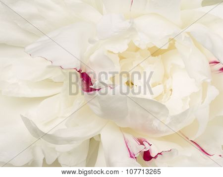 Beautiful Flower White Peony