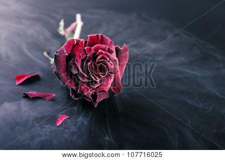 Frozen rose  on dark background