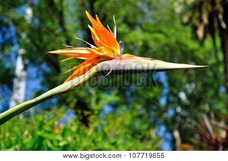 Strelitzia flower - Bird of paradise
