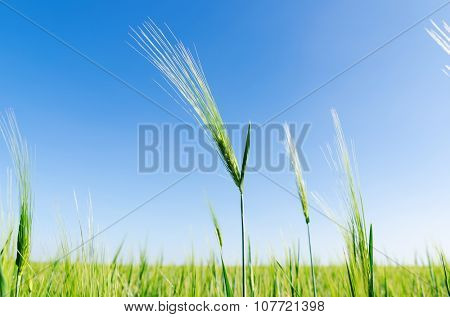 green spica of rye on field