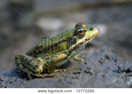 The Marsh Frog
