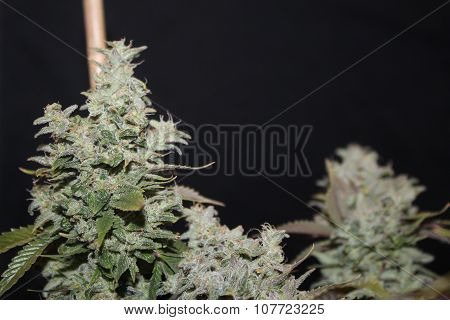 Medical Marijuana White Widow Flower Maturing