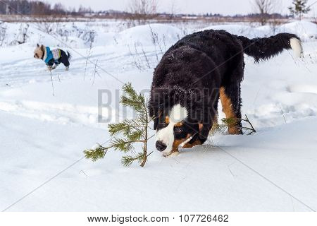 Young Mountain dog