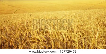 Texture meadow of wheat. Nature composition.