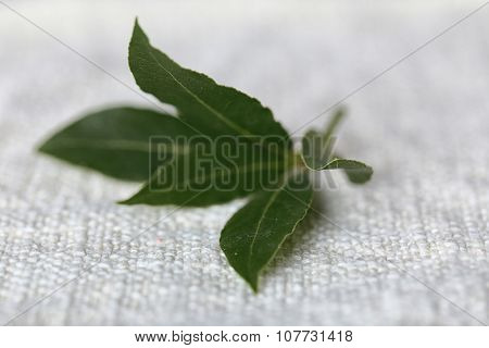 Fresh twig with bay leaves, close up