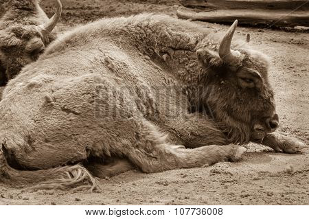 Bisons Close Up Sleeping On A Ground In The Zoo. Sepia Photo Of Bison Resting On The Sandy Ground..