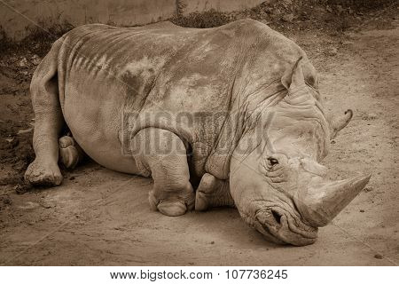 A Close Up Of A Rhino / Rhinoceros Laying On The Ground In The Zoo. Sepia Photo Of Rhino Resting On