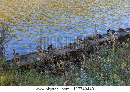 A Group Of Ducks On The Riverbank