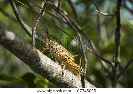 Grasshopper on Branch