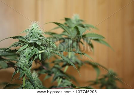 Medical Marijuana Flowers