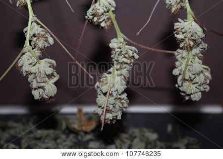 Medical Marijuana Buds Hanging To Dry