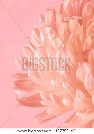 Flowering Chrysanthemum With Pastel Filter