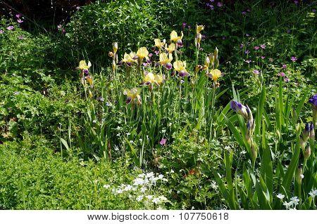 Bicolor Bearded Irises