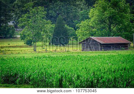 Old Barn Siting In Cornfield